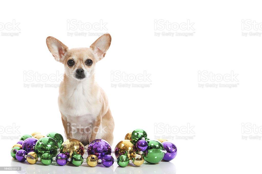 festive chihuahua royalty-free stock photo
