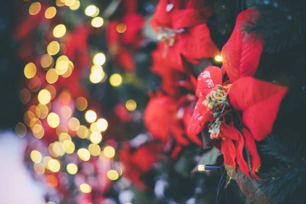Festliche Dekoration Hintergrund mit roten künstlicher Weihnachtsstern Blumen als Symbol für Weihnachten und beleuchtete Girlande auf bokeh – Foto