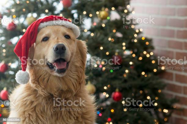 Festive dog picture id861560094?b=1&k=6&m=861560094&s=612x612&h=fej4n6 nbfo1dmbbpktv32nrdnjcyv uyqti3cmi154=