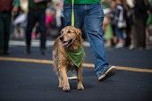 Happy Golden Retriever walking along Saint Patrick Day parade route wearing green bandana around neck.