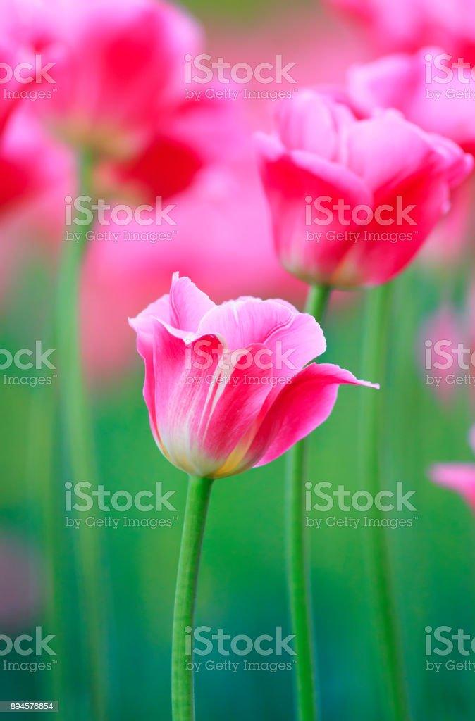 Tulipanes Rosa Fiesta De Las Flores Crecen En El Jardín En Primavera ...