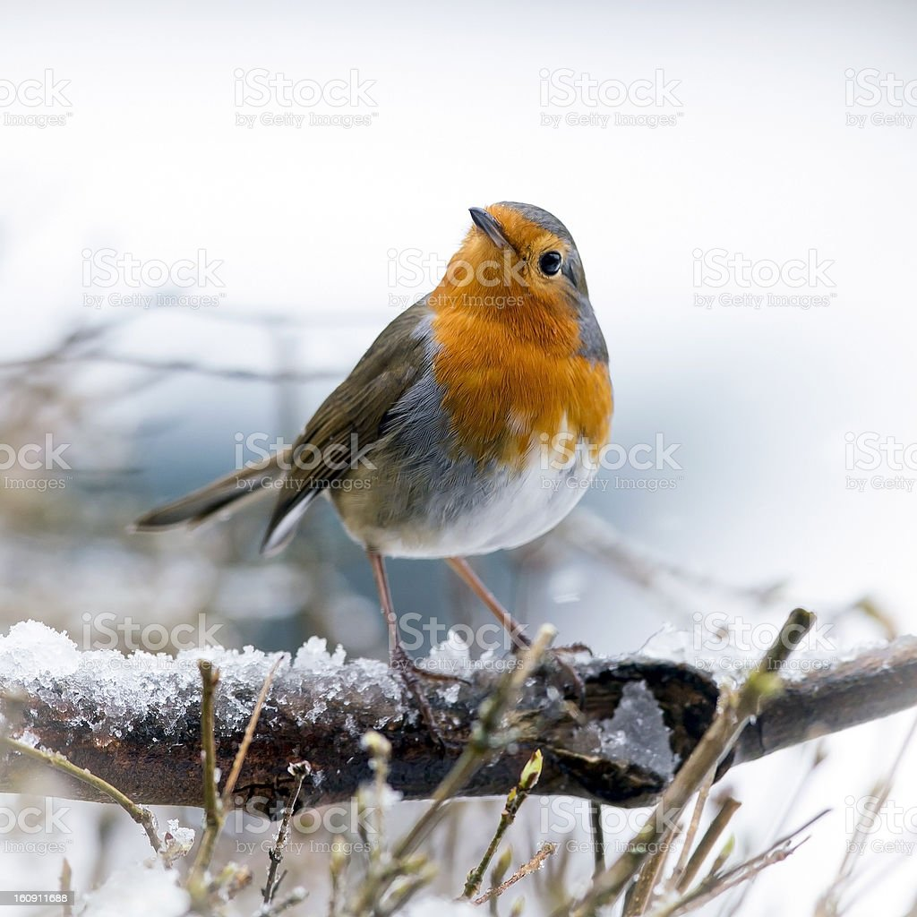 Festive Robin (Erithacus rubecula) stock photo