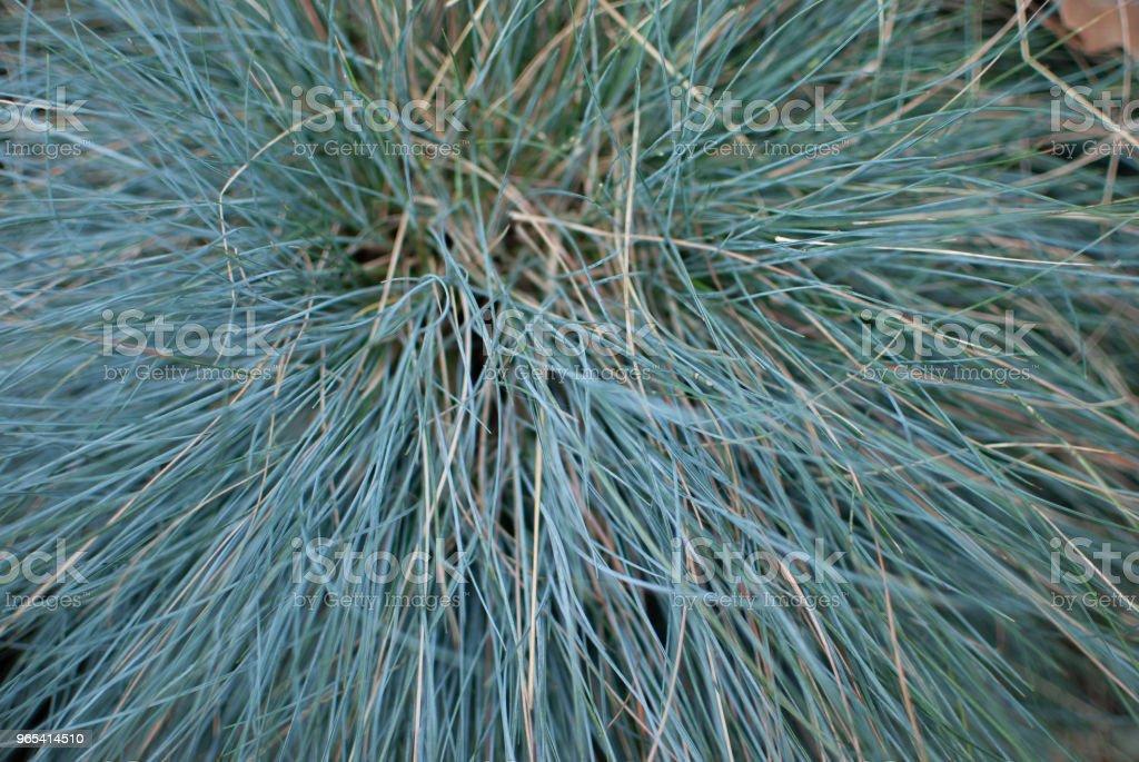 Festuca, a blue plant zbiór zdjęć royalty-free