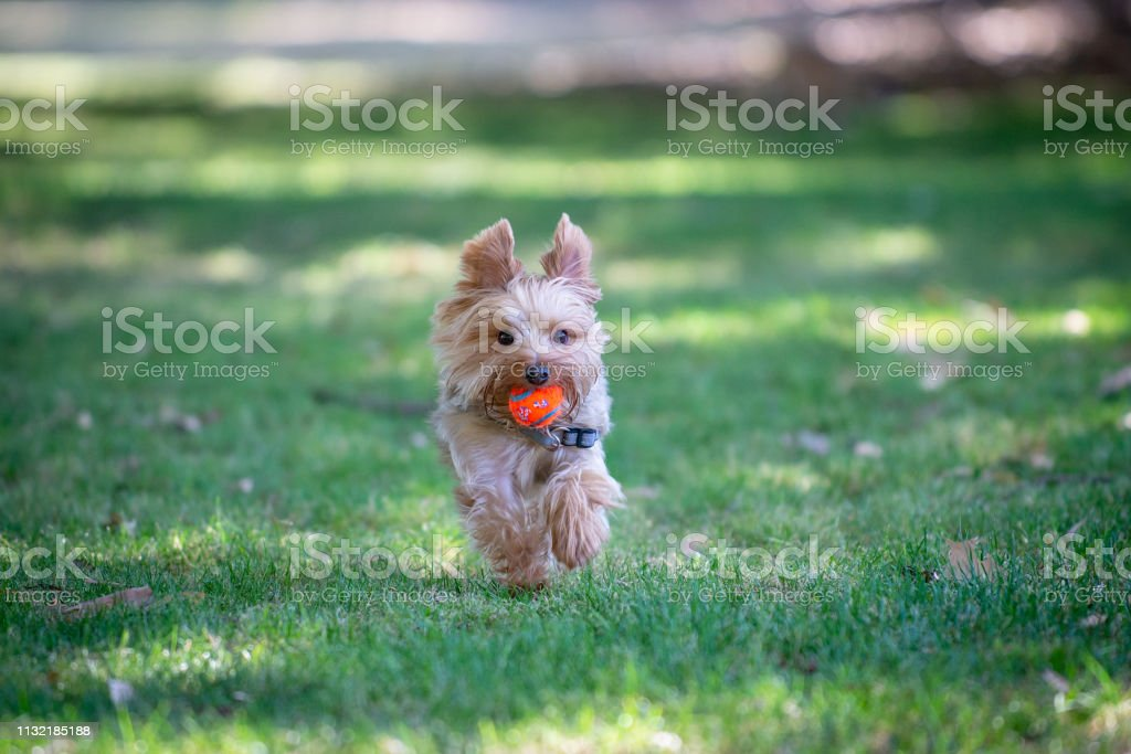 Yorkshire Terrier Running on a Grass Field Playing Fetch