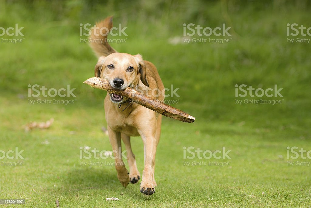 fetch! royalty-free stock photo