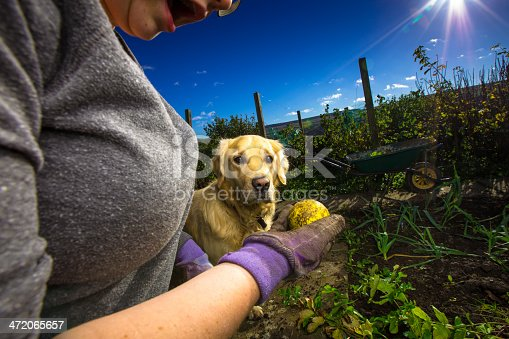 A young woman holds a yellow ball in her hand while standing in a vegetable plot. A golden retriever gazes at it, transfixed.