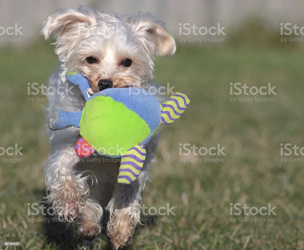 Fetching Frenzy royalty-free stock photo