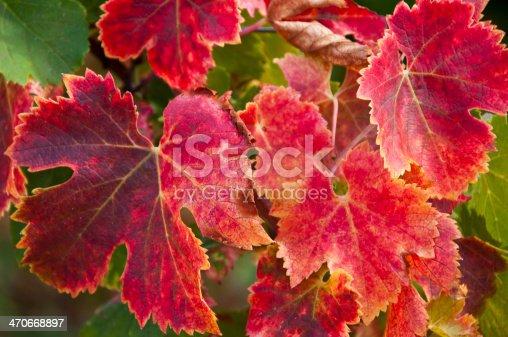 feuilles de vigne en automne aux couleurs dans les rouges