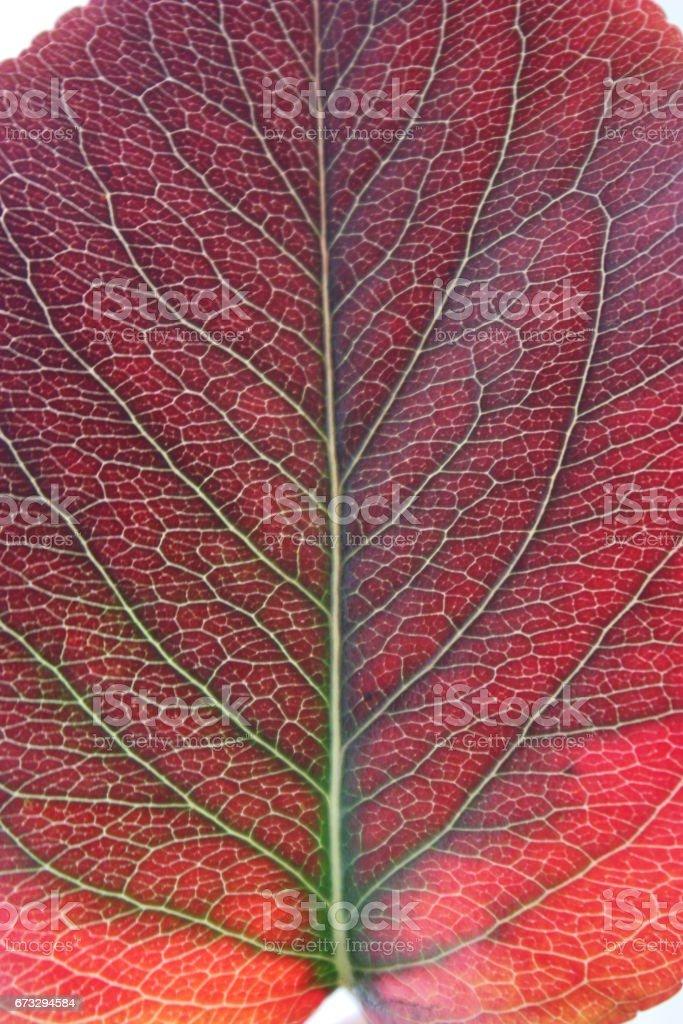 Feuille multicolore d'automne nervurée royalty-free stock photo