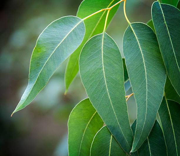 feuilles d'eucalyptus - eukalyptusbaum stock-fotos und bilder