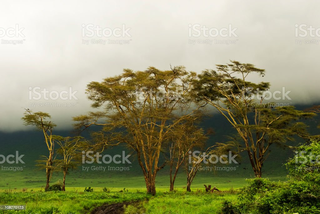 Fever Trees under a mystic African Sky in Ngorongoro Crater stock photo