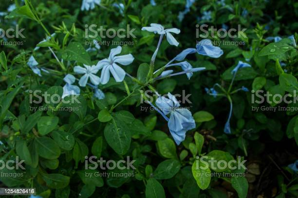 Feverfew flowers picture id1254826416?b=1&k=6&m=1254826416&s=612x612&h=ylkcvfvtfvmkyukmwvvkgjxem7bvhj  dpvtsybro24=