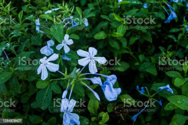 Feverfew flowers picture id1254826427?b=1&k=6&m=1254826427&s=612x612&h=lpriybt5gdl8zou9e1lqtiopw1y1lms2n6bj50wp6rk=