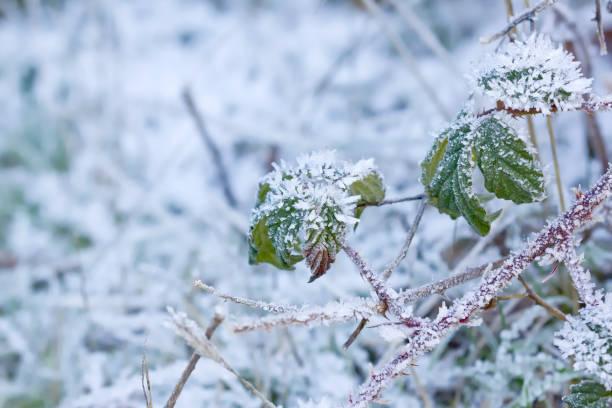 Algunos blackberry deja cubierto en hielo. - foto de stock