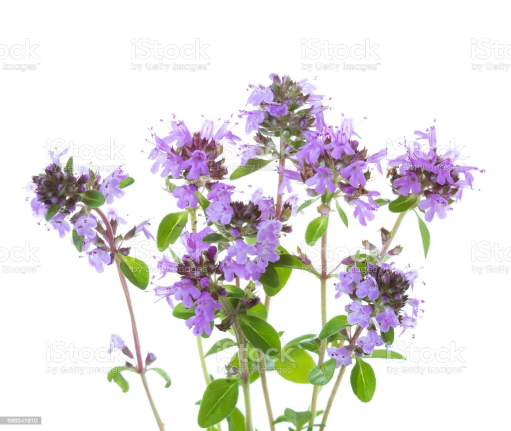Few blooming sprigs of   Wild Thyme (Thymus serpyllum) isolated on white background stock photo