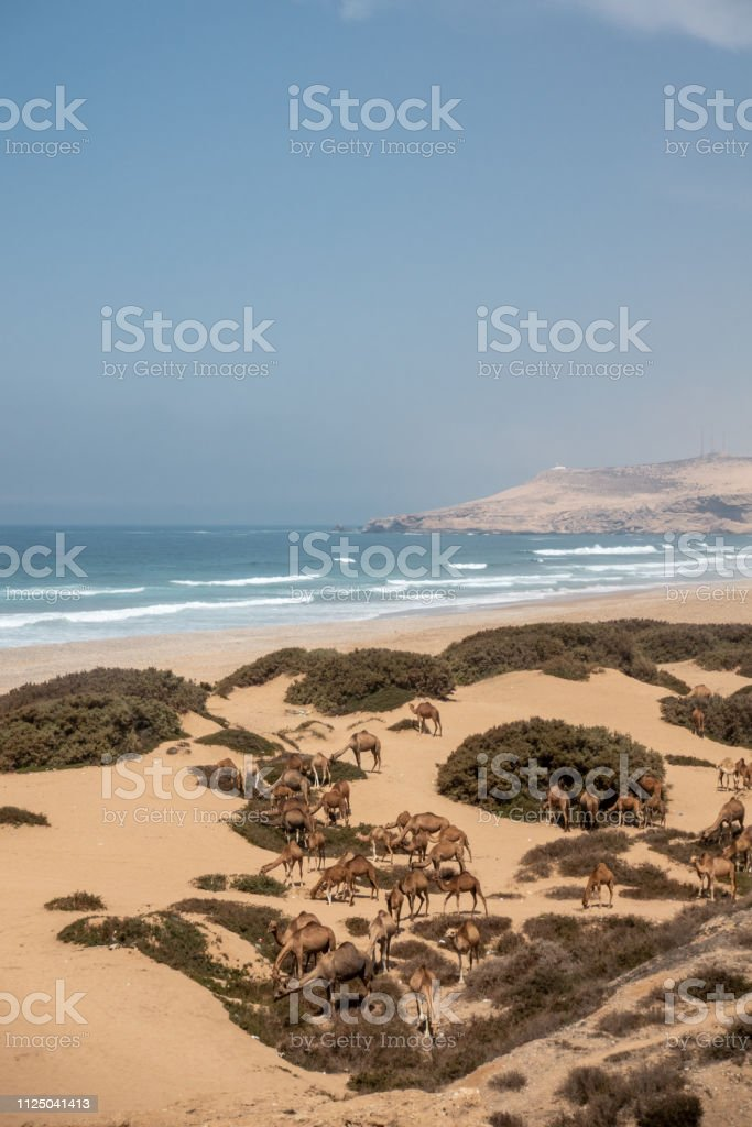 A few camels are eating some grass at the Plage Tamri near Agadir, Morocco stock photo