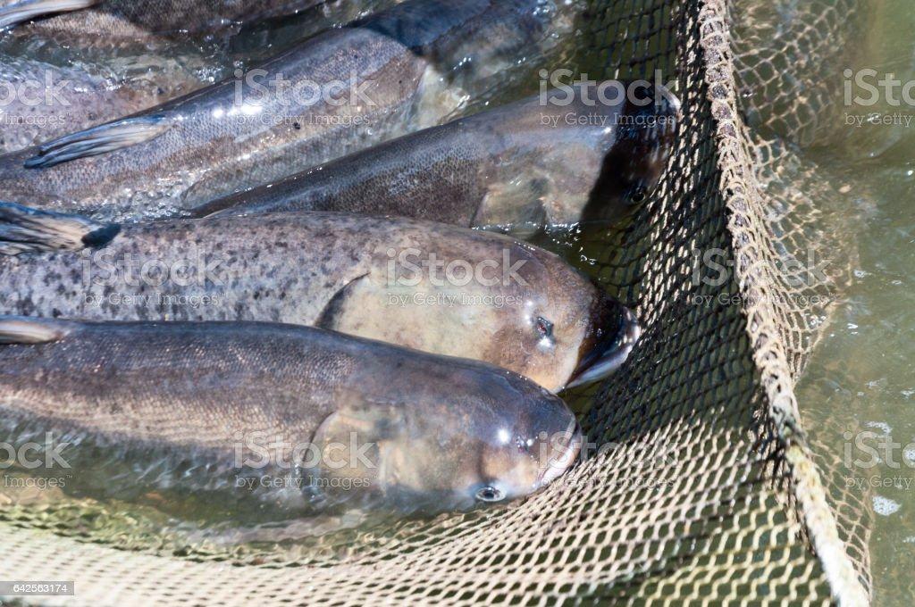 A few carp in a fishing net. Fish farms. stock photo