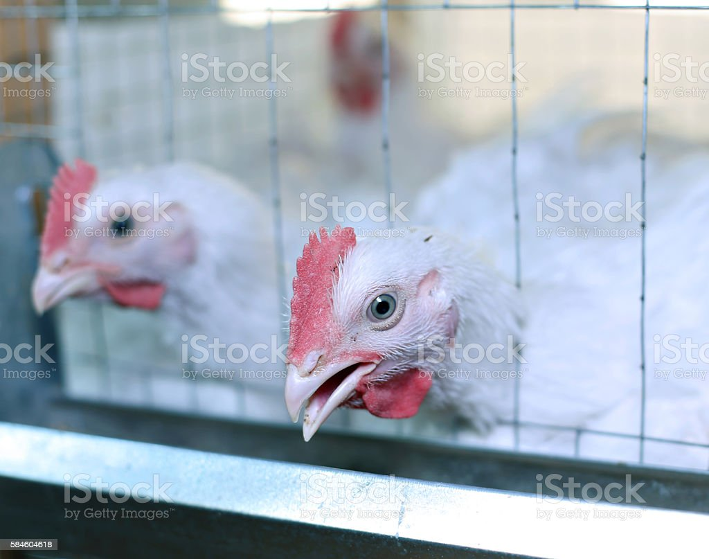 Few chickens eating combined feed in the cage stock photo
