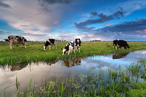 few cows grazing on pasture by river