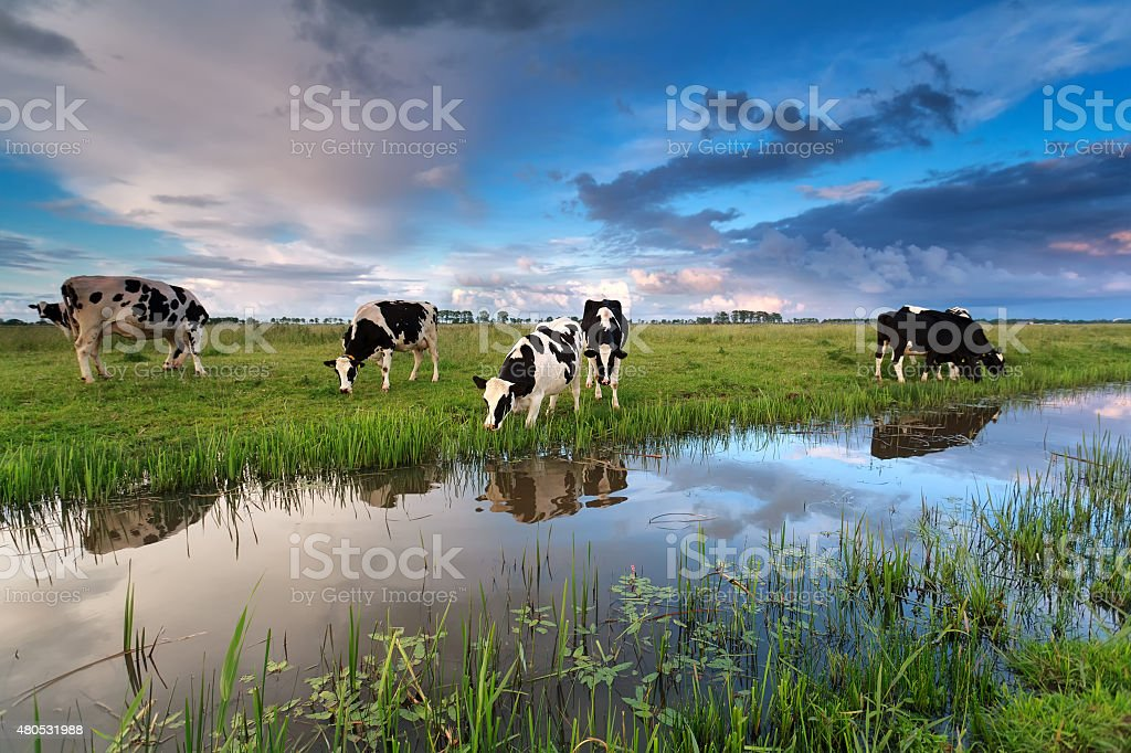 few cows grazing on pasture by river stock photo