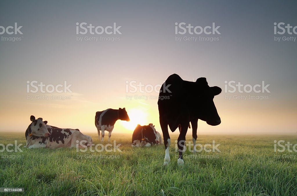 few cows on pasture at sunrise stock photo