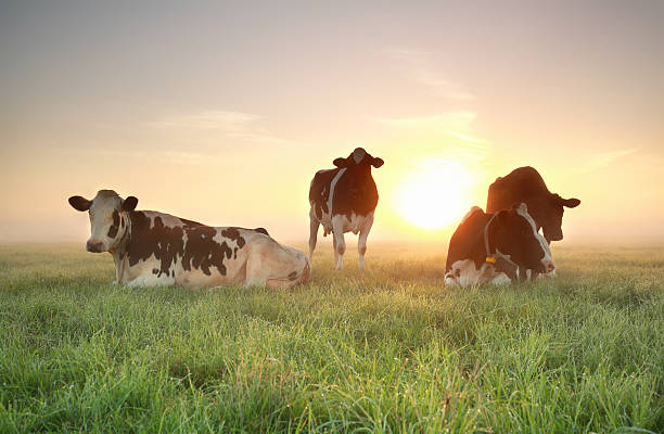 few cows on relaxed on pasture during sunrise foto