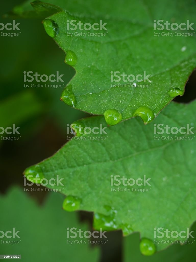 Few drops of dew on the tips of the green  leaves of the vine grapes zbiór zdjęć royalty-free