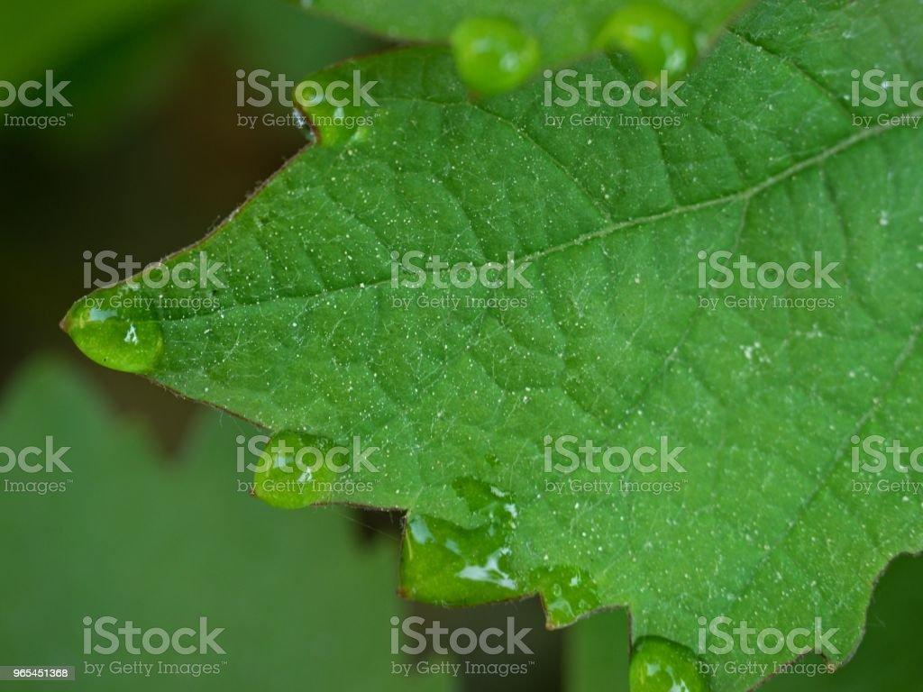 포도 나무 포도의 녹색 잎의 끝에이 슬의 몇 방울 - 로열티 프리 0명 스톡 사진