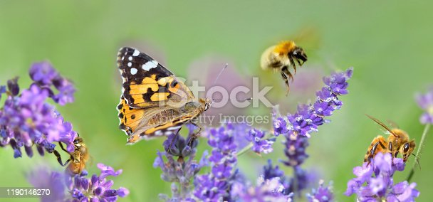 few honeybee and butterfly on lavender flowers in panoramic view