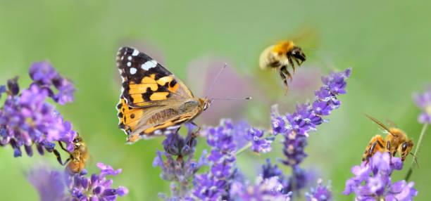 pocas abejas y mariposa en flores de lavanda en vista panorámica - foto de stock