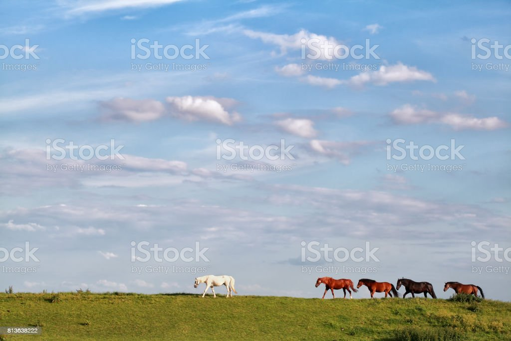 few horses follow white horse  on pasture stock photo