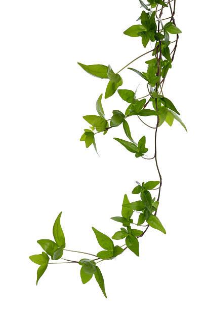 paar ivy beine isoliert über weiß. - poison ivy pflanzen stock-fotos und bilder