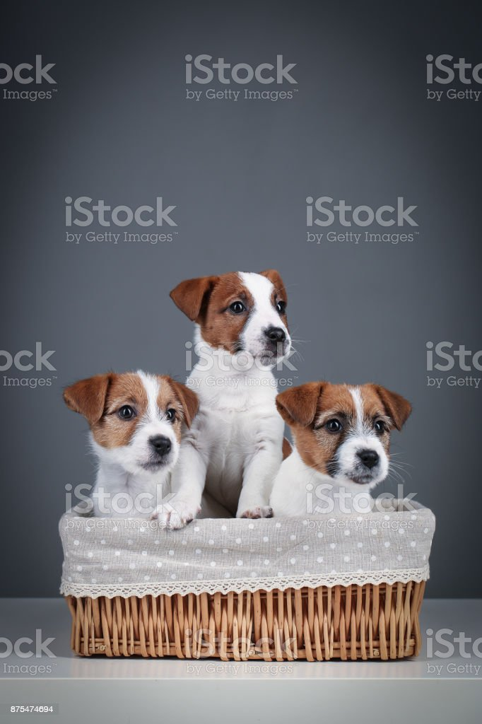 A few jack russell puppies in the bed. Close up. Gray background stock photo