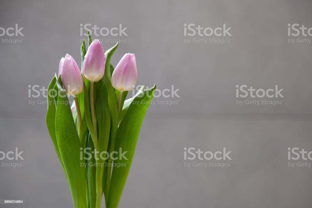Few light tulips flowers on dark abstract surface. Isolated flowers on a blur background with copy space. stock photo