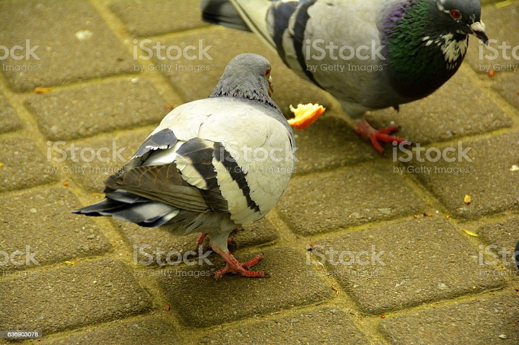 few pigeons in the park stock photo
