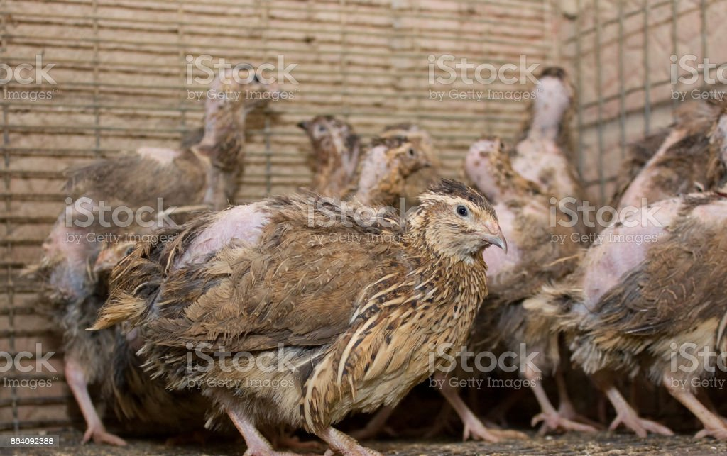A few quails in a cage on a chicken farm stock photo