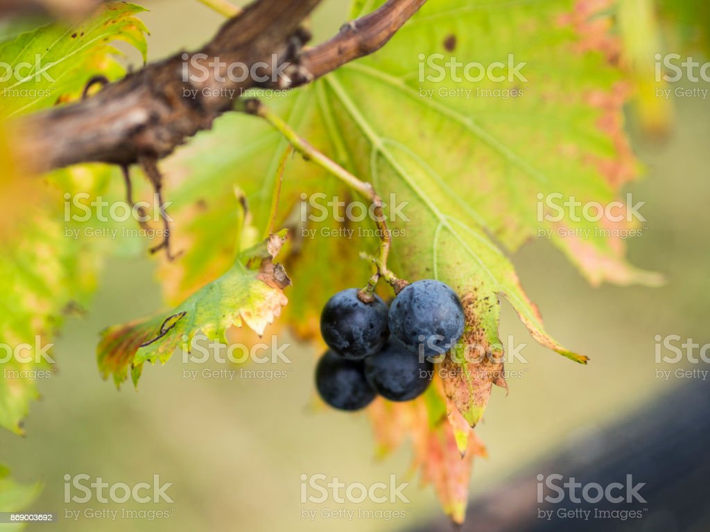 A Few Red Grapes stock photo