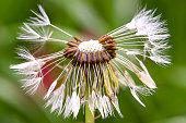 Macro photography of a dandelion seed head with few seeds at the Andean mountains of central Colombia.