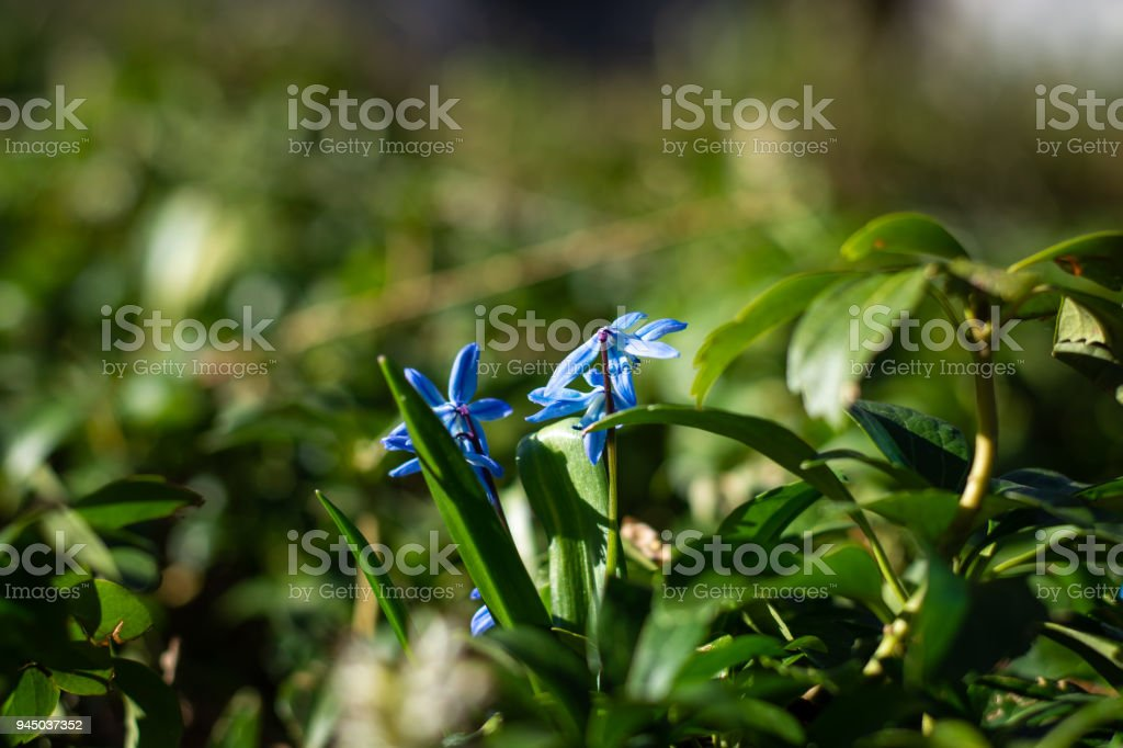 Few siberian squills surounded by green leaves in the spring sun close up with copy space above stock photo