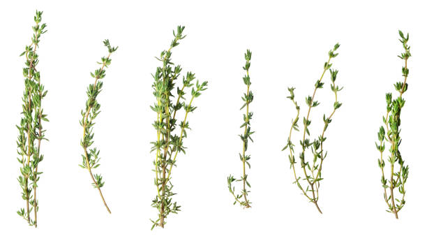 A few sprigs of fragrant thyme isolated on white. A few sprigs of fragrant thyme isolated on white. thyme photos stock pictures, royalty-free photos & images