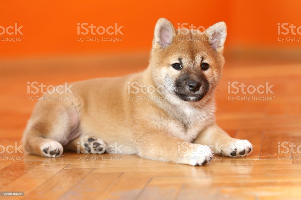 Few weeks old puppy posing for cameras stock photo