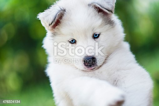 Few Weeks Old Samoyed Husky Baby Puppy how posing and looking at camera.