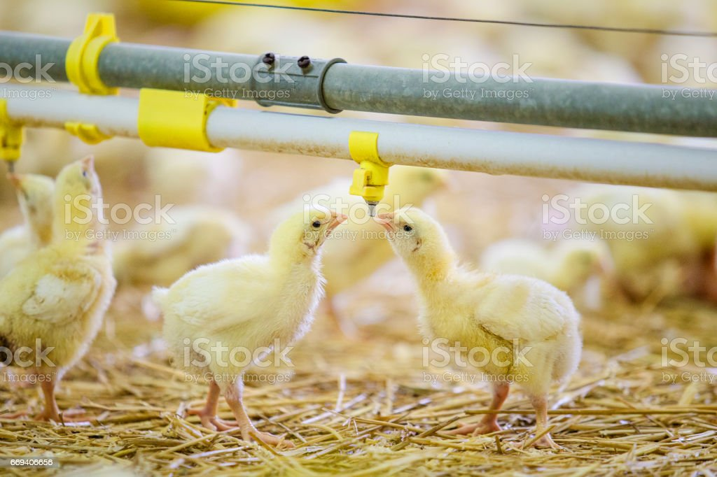 Few yellow chickens drinking water stock photo