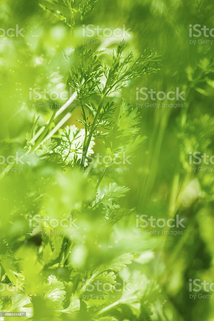 Fewah parsley leaves royalty-free stock photo