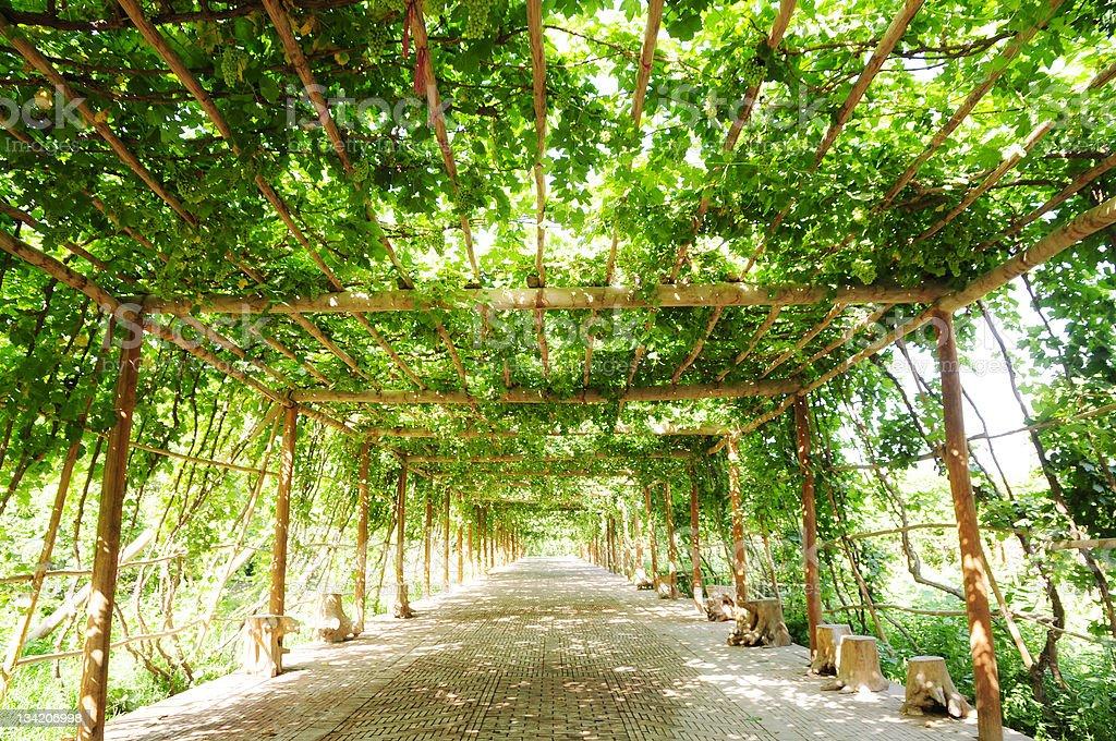 ffootpath raisin vigne verte sous la pergola photos et plus d 39 images de all e de jardin istock. Black Bedroom Furniture Sets. Home Design Ideas