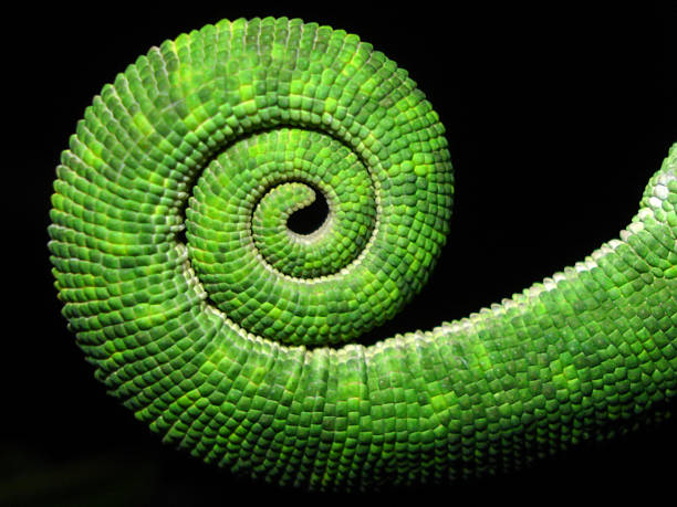 fibonacci chameleon tail - 重複螺旋型 個照片及圖片檔