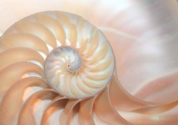 fibonacci pattern in cross section nautilus sea shell - nautilus stock pictures, royalty-free photos & images