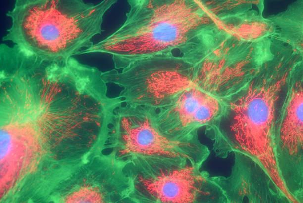 Fibroblast cells mpressionistic stock photo