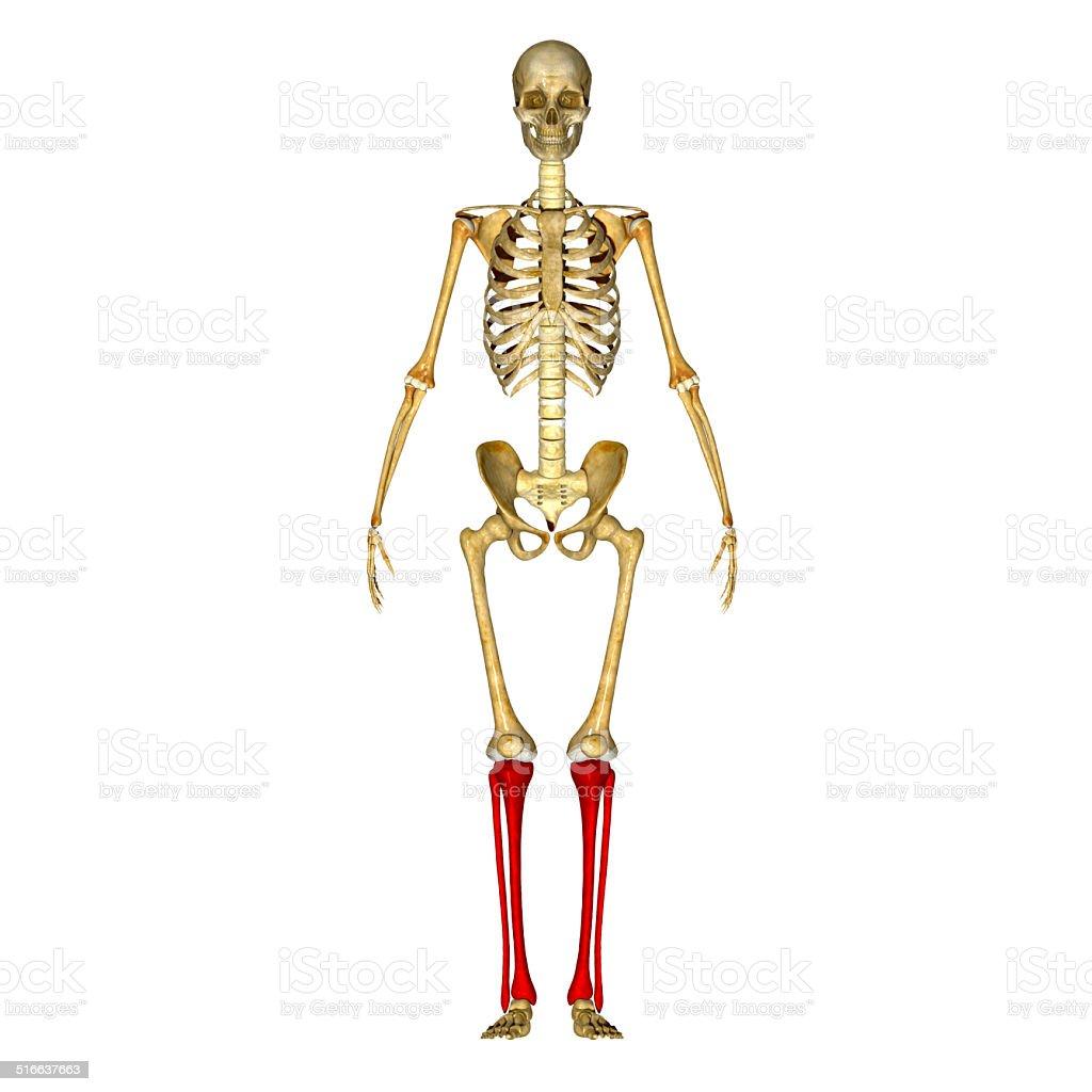 Fotografía de Y Tibia De Peroné y más banco de imágenes de Anatomía ...