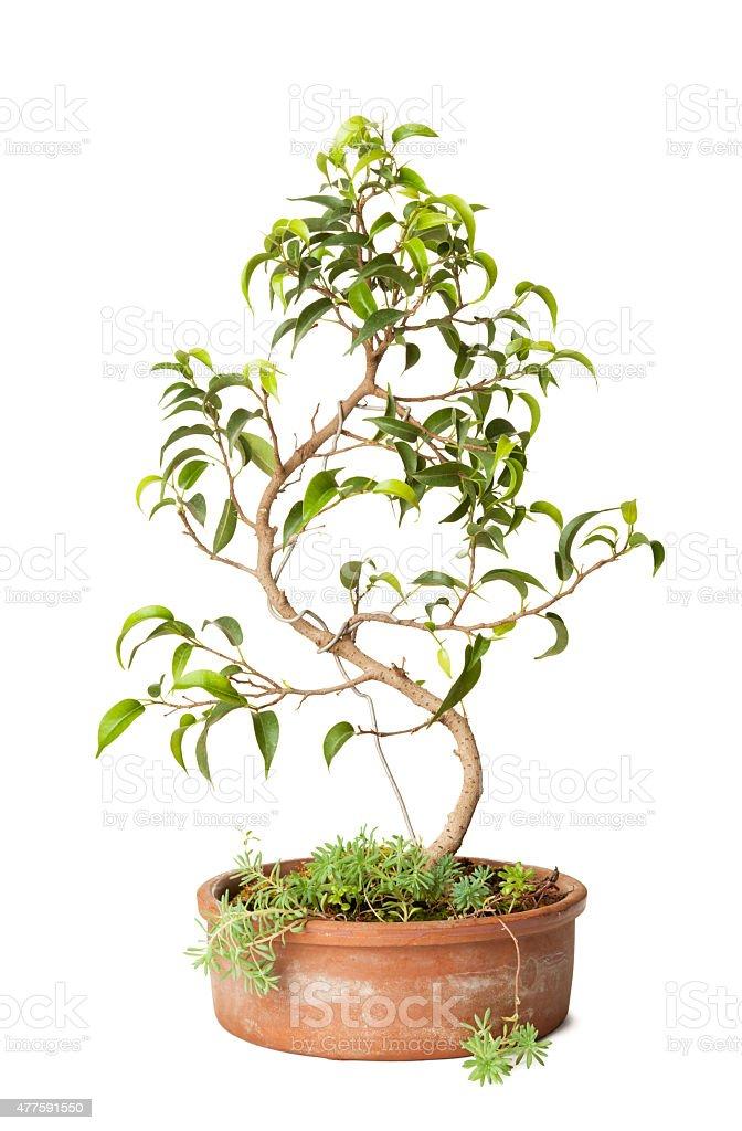 Figueira Benjamin bonsai - foto de acervo